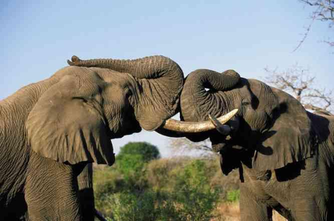 Elephants Clashing by