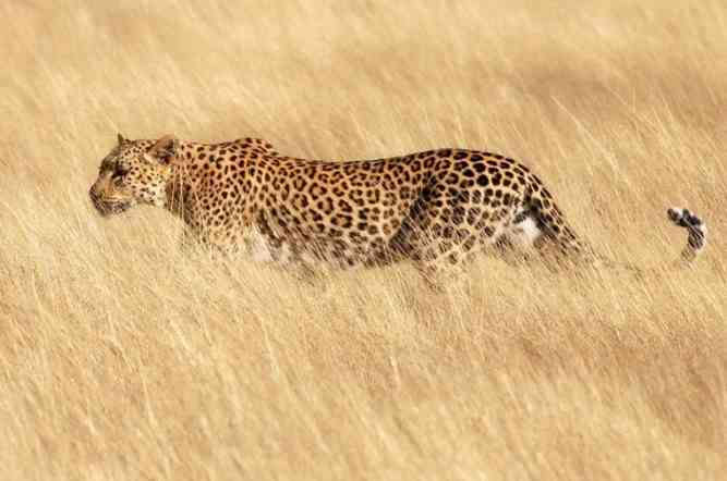 Leopard in African Wild by