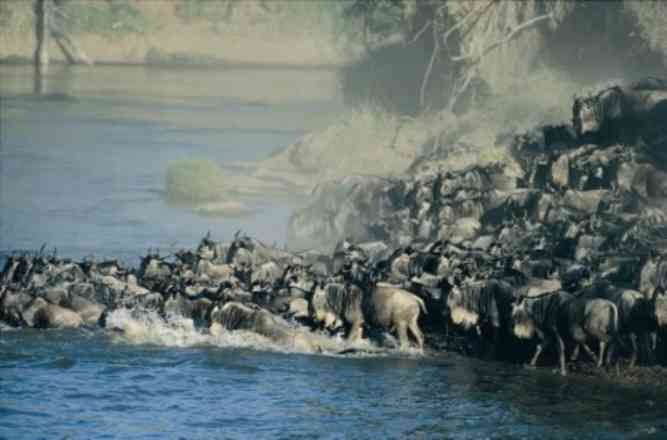 Serengeti Wildebeest Migration  by