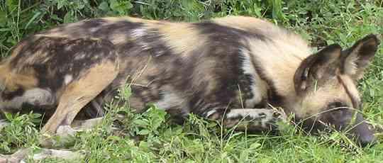 Wild Dog in Kruger Park by Landia Davies