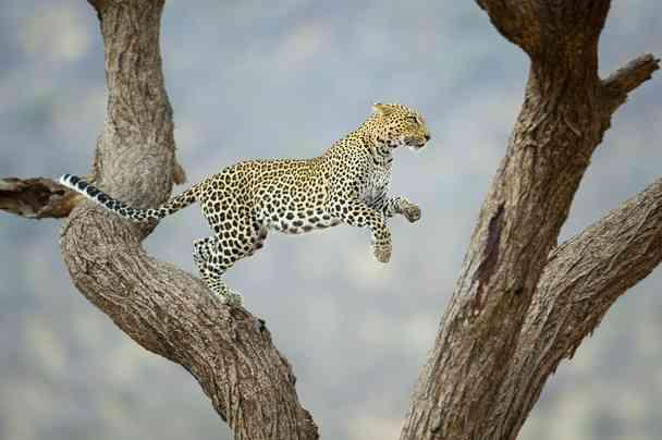 African Leopard in Samburu, Kenya by  Juan Hernandez