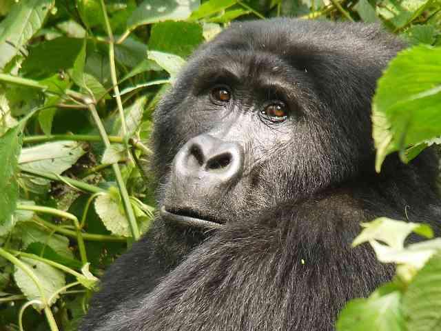 African rainforest gorillas