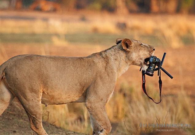 Lion & Camera by Don Klingborg