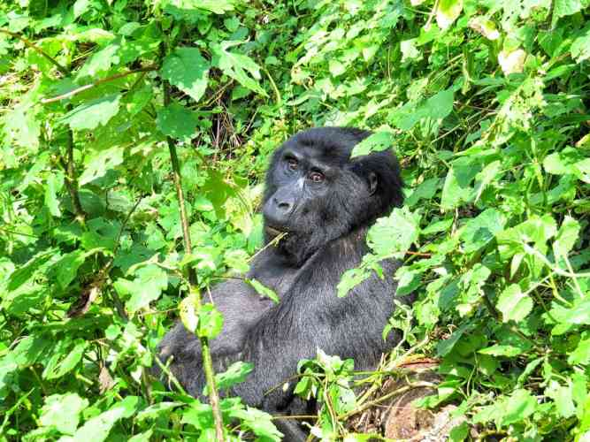 African Mountain Gorilla by Andy leskowitz