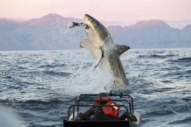 Great Whites catches seal by Lwp Kommunika