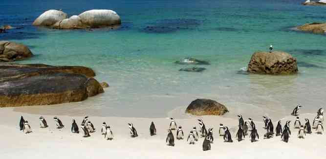 Penguins at Boulders Beach by Flickr User