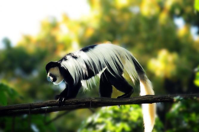 Colobus Monkey, Nairobi National Park by Gopal Vijayaraghavan