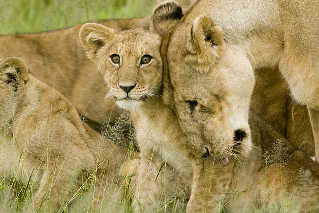 Lion and Cub by David Dennis