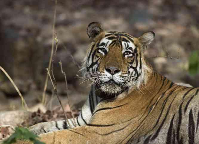 Male Tiger by Koshy Koshy