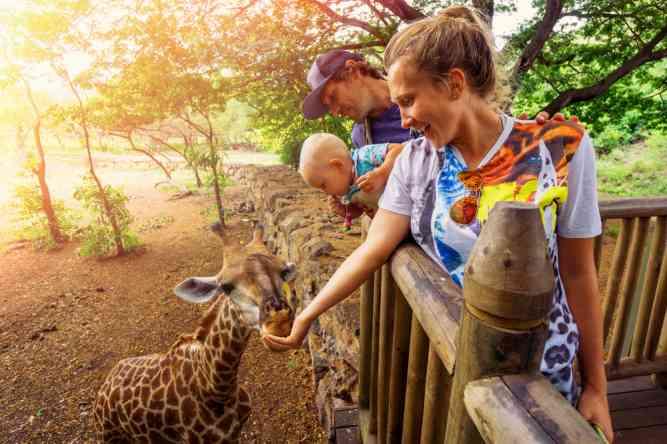 Feeding giraffes in Mauritius by