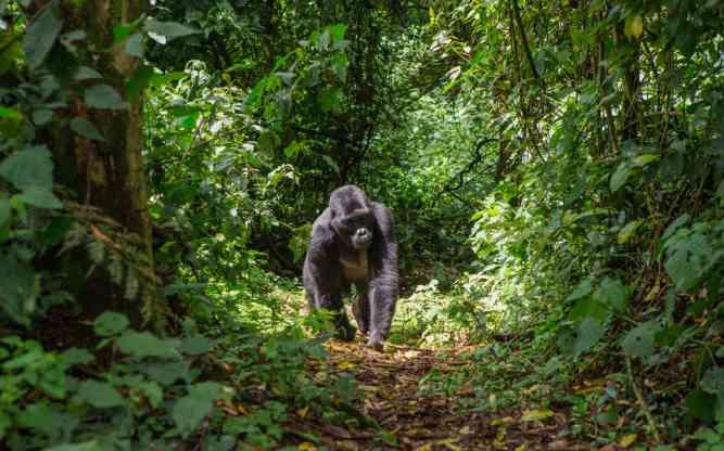 Silverback encounter - gorilla trekking in Rwanda by