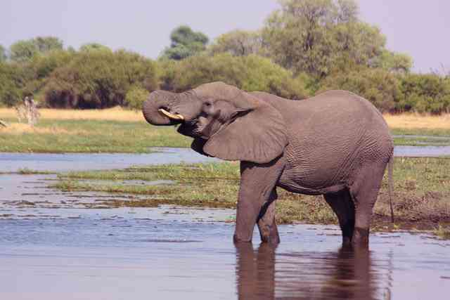 Elephant in the Okavango Delta by Charles Sharp