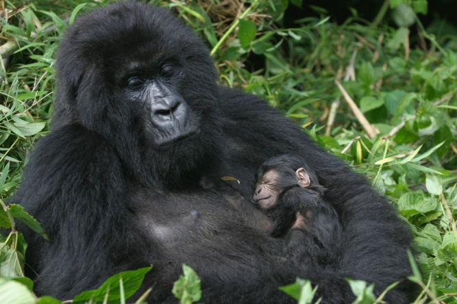 Mountain gorilla and baby by Shutterstock