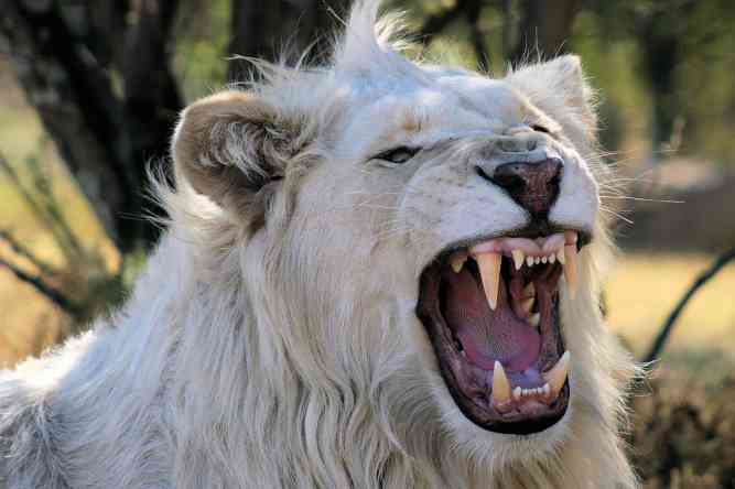 White lion by Barryml