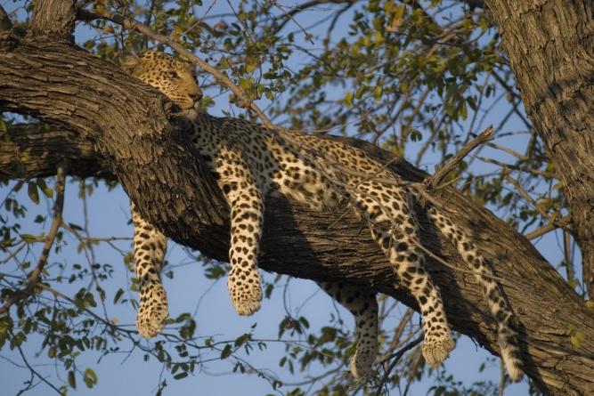 Leopard by cloudzilla