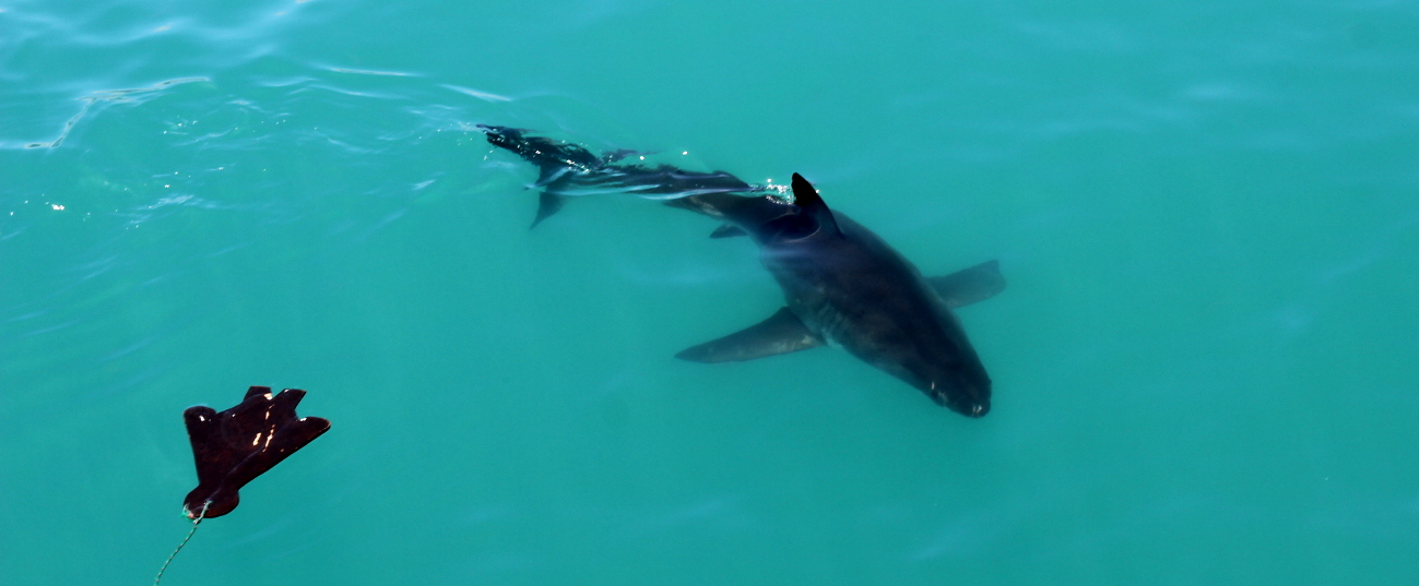 Is Shark Cage Diving Safe? Great White Shark Diving Trip to Gansbaai