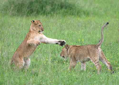 Cubs playing in Serengeti by DavidDennisPhotos.com