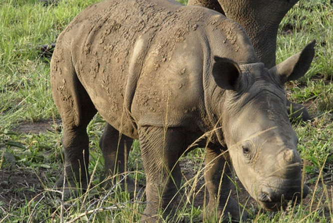 Rhino in Imfolozi Park, South Africa by