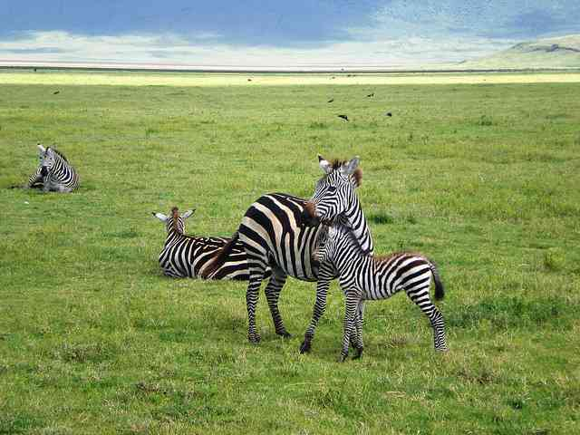 Zebra Mother and Baby, Ngorongoro by SarahTZ