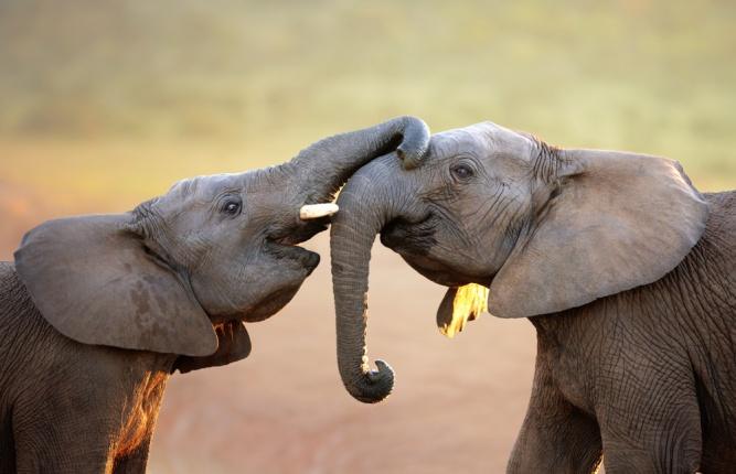 Elephant Love by Shutterstock