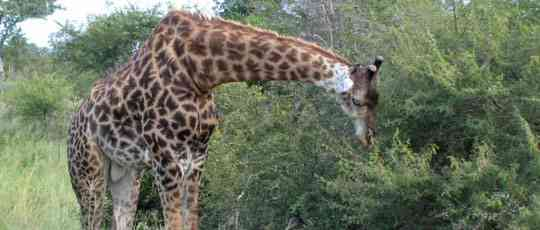 Giraffe in Kruger Park by Landia Davies