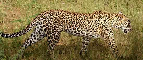 leopard ~