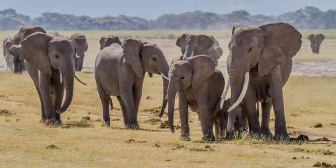 Herd of elephants in Amboseli by Benh LIEU SONG