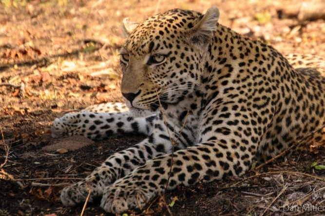 Leopard keeping out of the sun at Kruger by Dan Mitler