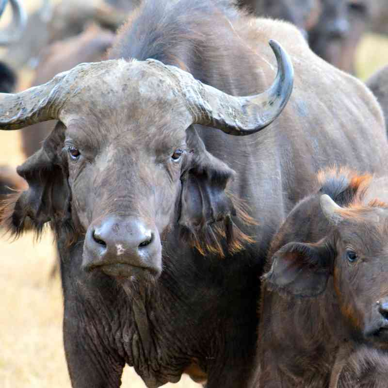 Africa S Big Five Facts About Big Five Animals Of Africa