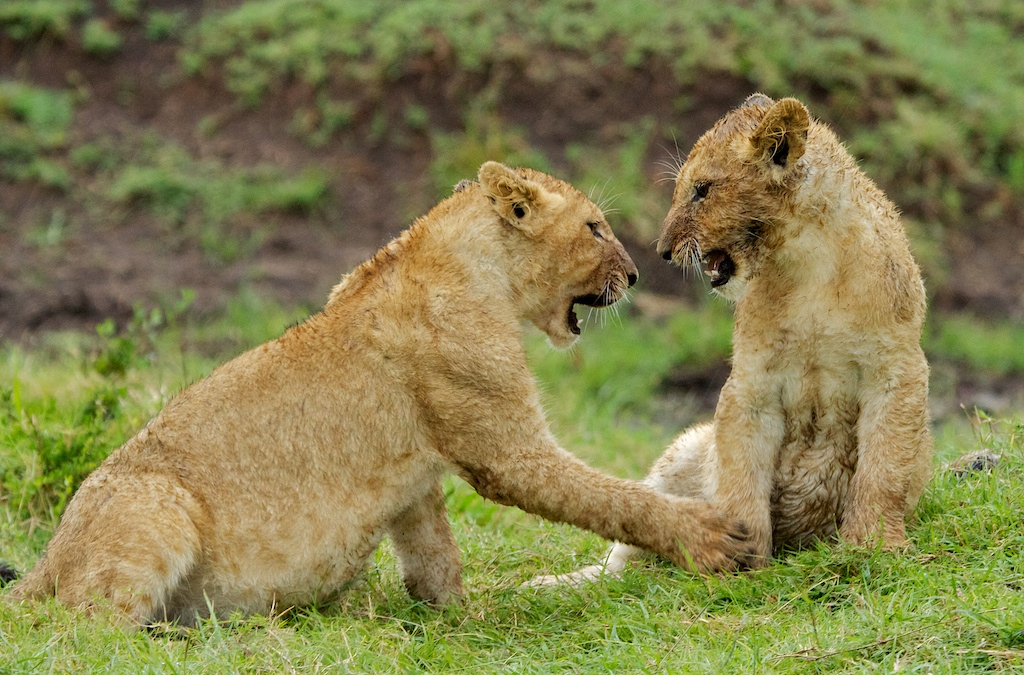 Africas big five facts about big five animals of africa african lion cubs in masai mara stuart richards m4hsunfo