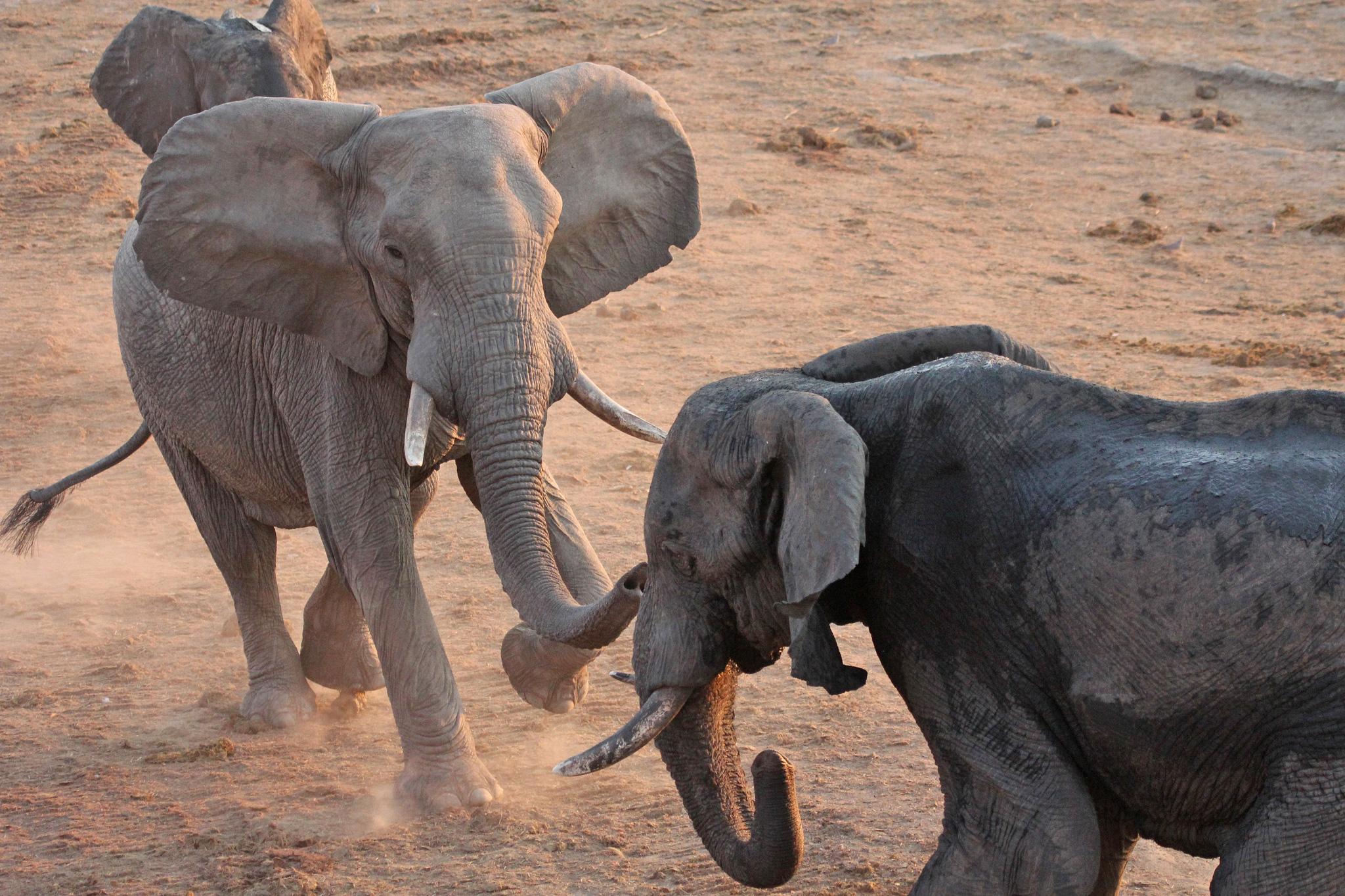 africas big five facts   about big five animals of africa   african  hwange elephants   big five   joepyrek