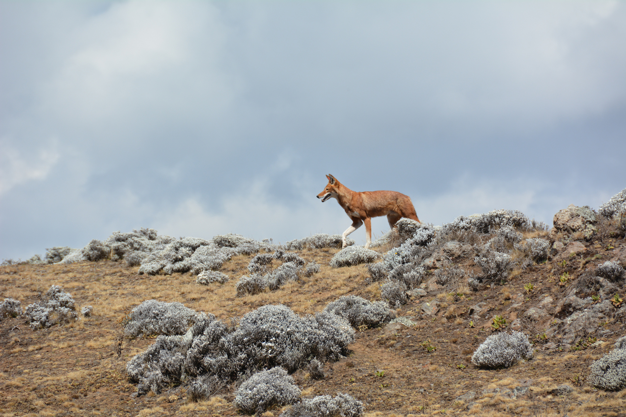 African mountain animals - Ethiopian Wolf Laika Ac