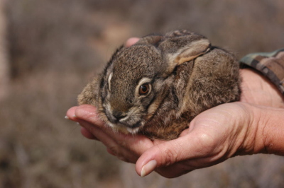 Image of: Wildlife Critically Endangered Riverine Rabbit From Givengain African Budget Safaris Endangered Animals In Africa Rare Endangered Wildlife Conservation