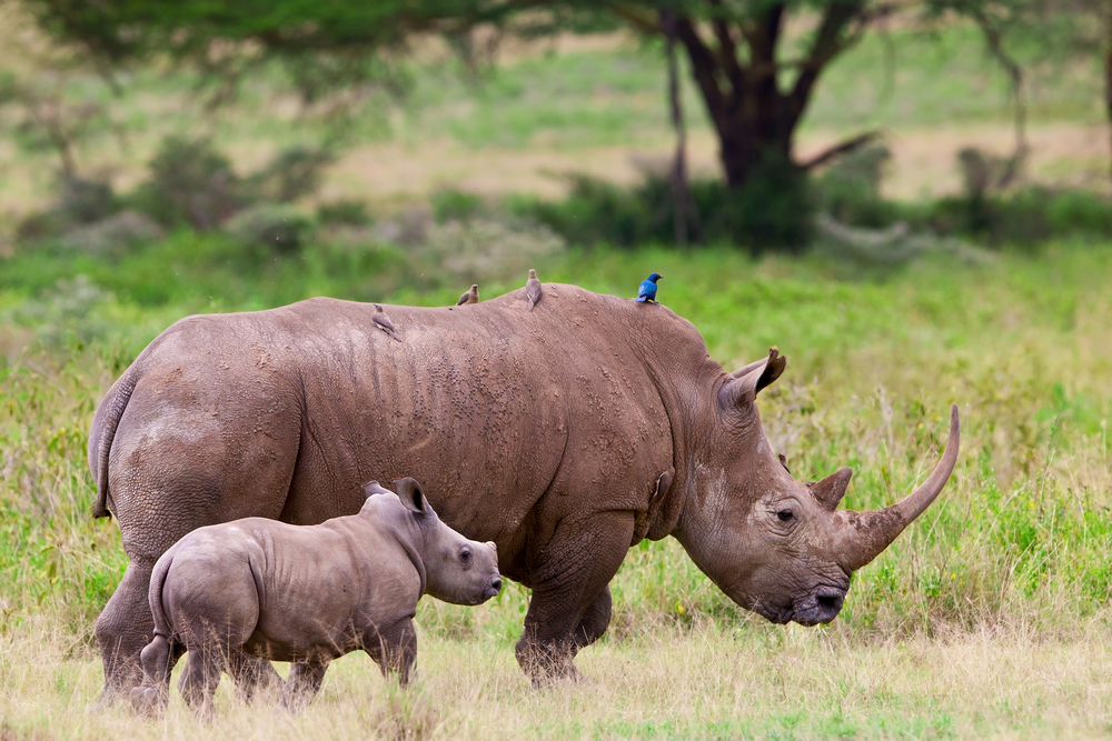 Image of: Wildlife Endangered White Rhino Mother And Calf Near Lake Nakuru Kenya By African Budget Safaris Endangered Animals In Africa Rare Endangered Wildlife Conservation