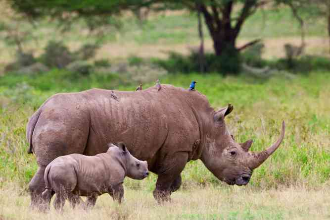 White rhino, mother and calf near Lake Nakuru, Kenya by