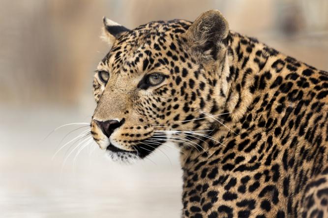 Leopard by Shutterstock