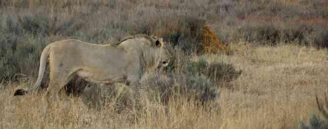 Male lion looks across the bush at Entabeni by Ryan Kilpatrick