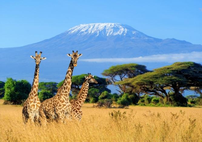 Giraffes in Kenya by SS