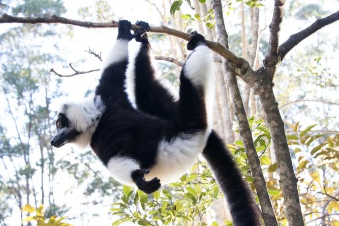 Madagascar Lemur by Daniel De Lapelin Dumont
