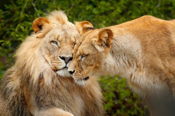 Loving lions, Chobe by