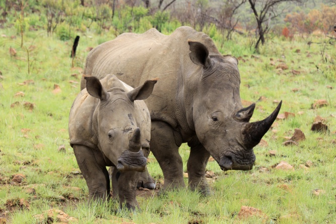 Rhino mother and baby by Shutterstock