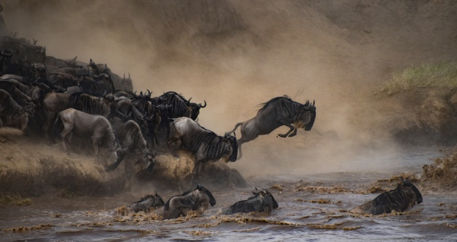 Wildebeest migrating across the Mara River between Kenya & Tanzania by
