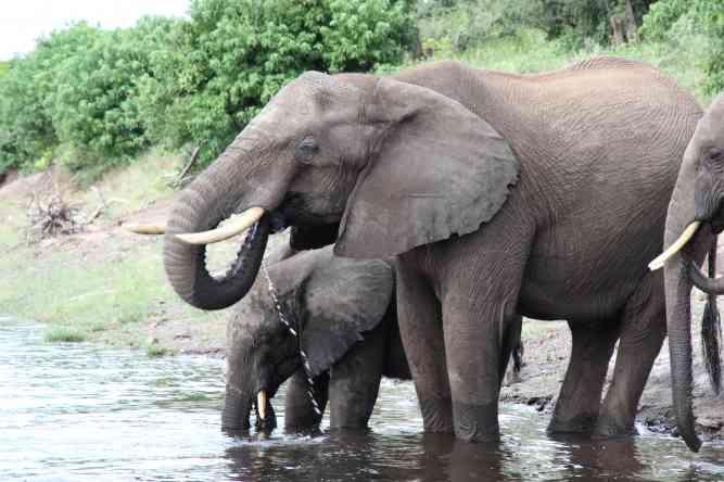 Chobe Elephants by Landia Davies