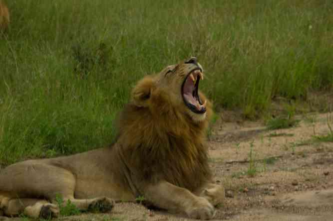 Lion yawn by Daniel De Lapelin Dumont