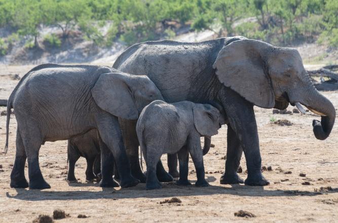 Chobe elephants by Michael Jansen