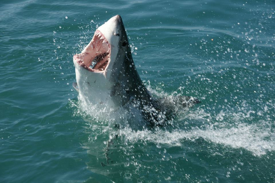 shark cage diving in cape town gansbaai great white shark diving