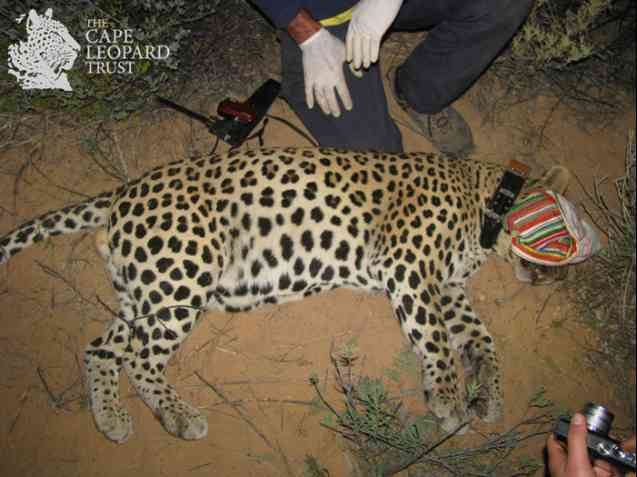 The Cape Leopard Trust