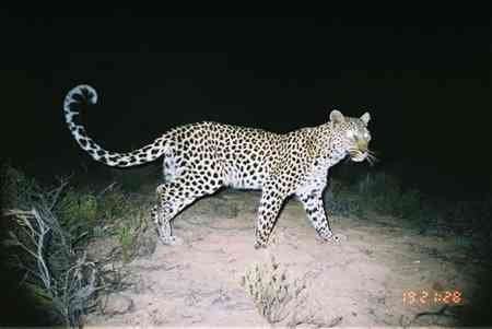 Wild Leopards in the Western Cape?