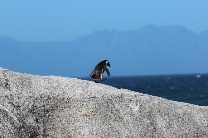 Penguin walking by Joel Herzog