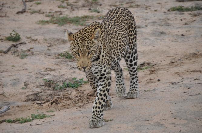 Leopard, Klaserie by Ingrid van Wyk